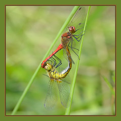 Ruddy Darters (Full Moon Images) Tags: macro nature project insect dragonfly wildlife great reserve trust mating fen fens cambridgeshire fenland darter ruddy woodwalton