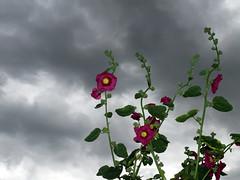 hher (O.I.S.) Tags: flowers red sky flower green rot clouds grey himmel wolken grau blumen grn blume leafs bltter fz50