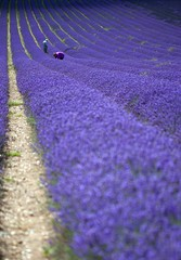 Ickleford Lavender Fields (Ian A Robertson) Tags: flower canon landscape eos photo photos mark bees lavender images 100mm bee ii getty fields 5d hertfordshire hitchin agricultural mkii herts ickleford canoneos5dmarkii eos5dmarkii