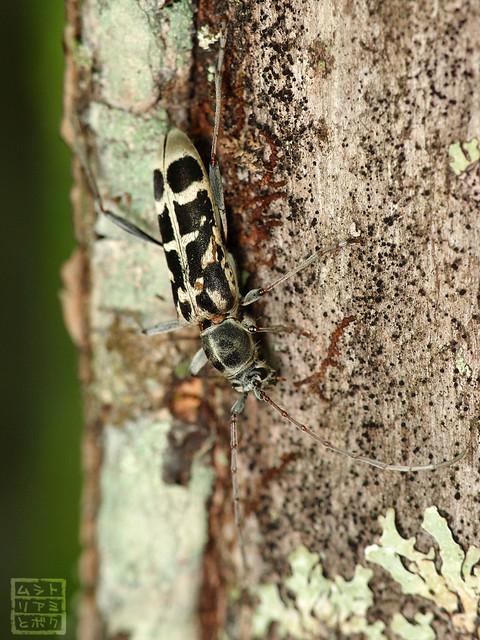 Paraclytus excultus