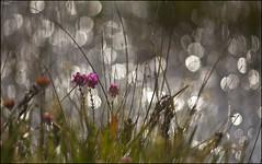 Heather, Grasses, 'n' Highlights (strussler) Tags: pink england canon eos heather surrey grasses common heathland thursley 2xextender ef135f2l 5dmkii dontforgetneda