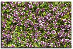a step in thyme (Linda Cronin) Tags: flowers wild summer green leaves carpet kent purple ground herb thyme lullingstone pregamewinner