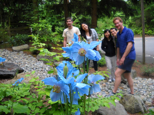 Himalayan Poppies with friends
