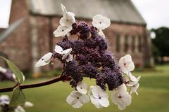 Hydrangea aspera 'Macrophylla' - Gardd Coleg Crist, Aberhonddu (Rhisiart Hincks) Tags: aberhonddu brecon brycheiniog breconshire powys kembra wales cymru kembre gales galles 威爾斯 威尔士 wallis uels kimrio valbretland 웨일즈 велс gallas walia เวลส์ hydrangeaasperamacrophyll blodyn bleunienn flower fleur dìth lore flùr bláth ue eu ewrop europe eòrpa europa aneoraip a'chuimrigh anbhreatainbheag ويلز uells ουαλία velsa velsas уельс уэльс уелс ウェールズ 威爾士