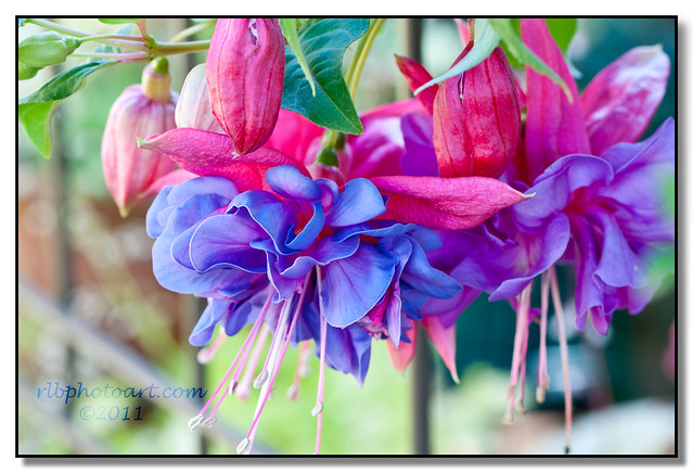 Fuchsia 2011 - Explored