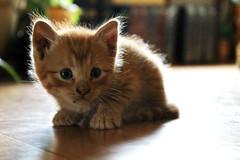 kitty  (britney;alexis) Tags: summer usa cute animal cat fur gold furry kitten feline bokeh naturallight iowa telephoto britney fuzz hauser britneyhauser