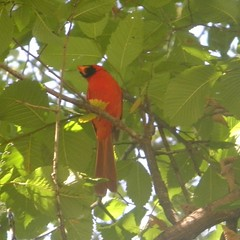 Male cardinal in tree