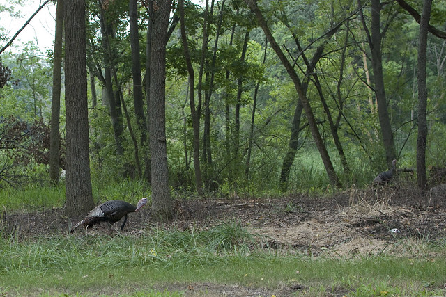 turkeys 1