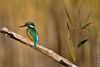 Martin-pêcheur d'Europe - Common Kingfisher (Alcedo athis) (Jeluba) Tags: bird nature canon wildlife aves ornithology birdwatching oiseau commonkingfisher alcedoathis eisvogel martinpêcheurdeurope goldwildlife