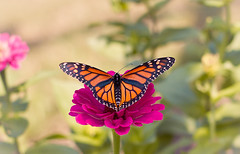 Monarch butterfly [Explored!] (Shandi-lee) Tags: pink summer orange plants sunlight black flower detail macro cute green nature animal closeup butterfly insect spring wings pretty vibrant magenta naturallight monarch delicate creature shandilee