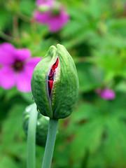 The Emerging Poppy Flower (Louise and Colin) Tags: pink flower macro green home garden stem poppy bud raindrop ours geraniumpsilostemen