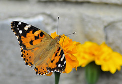 flt-l12 (gabriel_flr) Tags: vanessa gabriel nature animal lady butterfly insect flying nikon painted natur butterflies papillon falter mariposa mariposas farfalla insekten schmetterlinge schmetterling distel farfalle cardui fluture greatnature florea fluturi distelfalter d5000 fluginsekten gabrielflr