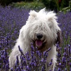 Lavender girl (dewollewei) Tags: old english sheepdog bobtail oes oldenglishsheepdog lavendel levender sweetexpressions