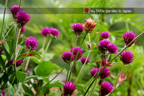 my-little-garden-in-japan-july-4