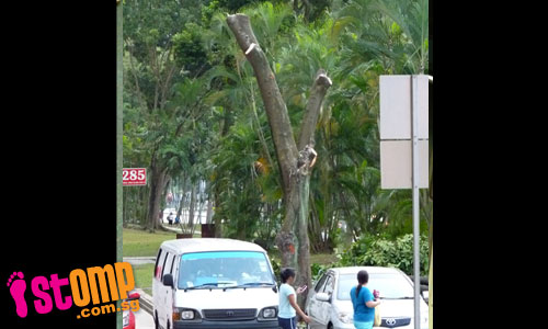 Are trees in Choa Chu Kang being illegally removed?