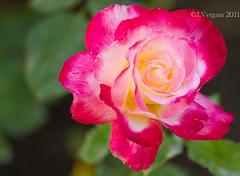 Takumar 135mm f2.5  -  RosaRoja2 (Palenquero Quercus agrifolia) Tags: china flower rose blackberry takumar f25 135mm zarzamora paperweightlens