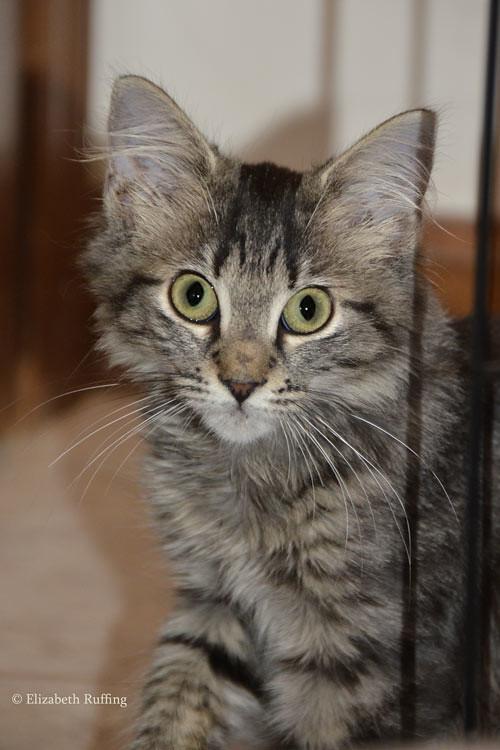 Feral tabby kitten, photo by Elizabeth Ruffing