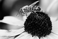 still at work (alina.) Tags: autumn blackandwhite bw flower macro monochrome work canon working bee busy honey stillatwork canon550d canoneos550d blinkagain alinacerny