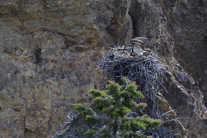 061611_osprey02
