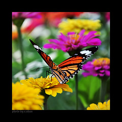 Butterfly #2 (e.nhan) Tags: pink flowers light art nature yellow closeup daisies butterfly colorful colours dof bokeh arts butterflies daisy backlighting enhan