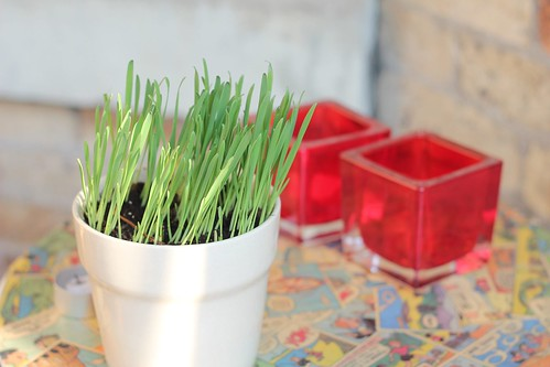 cat grass for angus
