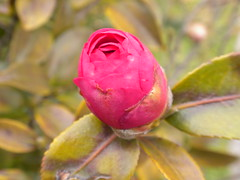 Not Time Yet (saukoma) Tags: japan garden flowerbud hirakata kansaigaidaiuniversity
