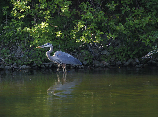 fishing heron4
