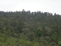 Diverse conifer forest, Ohayashi, Tokushima