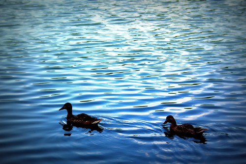 Pond Ducks
