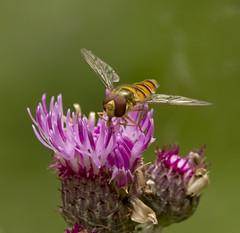 _MG_0045 Hover Fly (Episyrphus balteatus) on Thistle, Brandon Marsh, Warwickshire 12Jul11 (Lathers) Tags: brandon warwickshire hoverfly episyrphusbalteatus nbw canonef300mmf4lisusm brandonmarsh canon7d wildinthemidlands wkwt 12july11