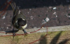 Sun dappled Coal Tit (aaron_eos_photography) Tags: summer bird nature birds garden inflight wildlife goldfinch july birdsinflight greattit gardenbirds gardenwildlife nygerseed wednesdayteatime