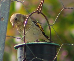 Young Goldfinch Tries To Figure Out The Feeder ... (aaron_eos_photography) Tags: summer bird nature birds garden inflight wildlife goldfinch july birdsinflight greattit gardenbirds gardenwildlife nygerseed wednesdayteatime