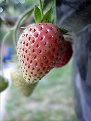 Ripening strawberry