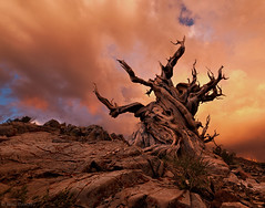 Aeonic... (Mac Danzig Photography) Tags: california sunset white mountains tree pine forest landscape dead ancient bristlecone tnc11