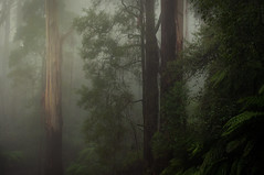 Stillness (Ranga 1) Tags: trees mist nature fog forest gum landscape nikon rainforest australian australia melbourne victoria explore jungle eucalyptus ferns mtdandenong treefern mountainash mountdandenong dandenongs dandenongranges gumtrees davidyoung treeferns thedandenongs nikonflickraward