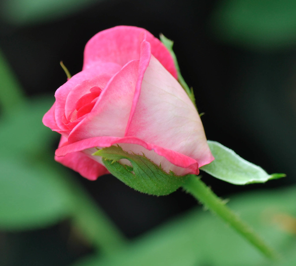 Charmed by a Rose 迷住 ...