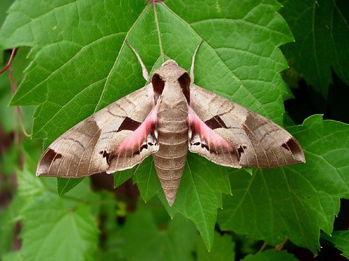 Photo - Sphinx moth