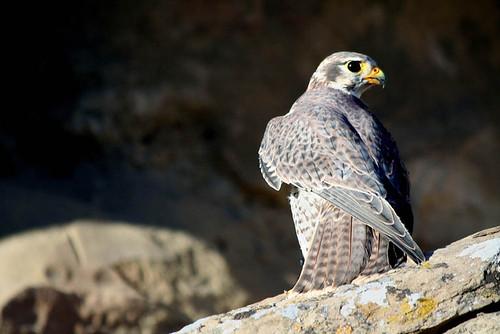 Photo - Prairie Falcon