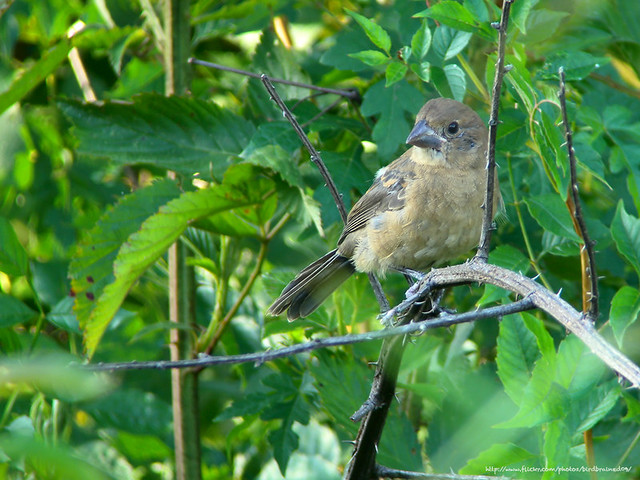 Blue Grosbeak juvenile, Jul 2011