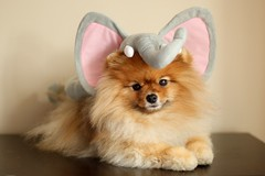 ...not again... (Pomaroo) Tags: portrait orange dog elephant cute halloween hat pose costume funny adorable naturallight pomeranian flint 50mmf14 canont1i