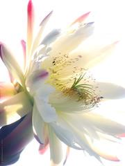 Incomparable beauty of this flower (VillaRhapsody) Tags: summer cactus hot flower beautiful garden blossom gorgeous july bloom nightflower bigmomma cereusperuvianus cy2 challengeyouwinner villarhapsody mygearandme