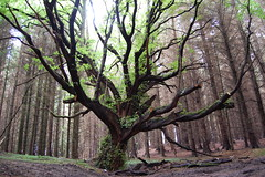 Tree (subflux) Tags: life old trees tree green leaves forest scotland woods creepy fantasy oldtree outstanding ayrshire nicetree oddoneout unusualtree interestingtree insidetheforest insideaforest treeinaforest