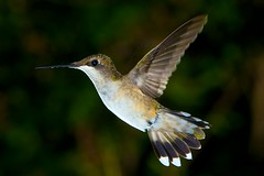 "Classic ""Wings-back"" Pose (Todd Hakala) Tags: bird animal us hummingbird unitedstates feeder ruby eastern rubythroated hover throated ef70200mmf28lisusm20x"