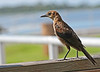 A female Boat-tailed Grackle whom with I've begun a friendship. She has a white tail feather and ...
