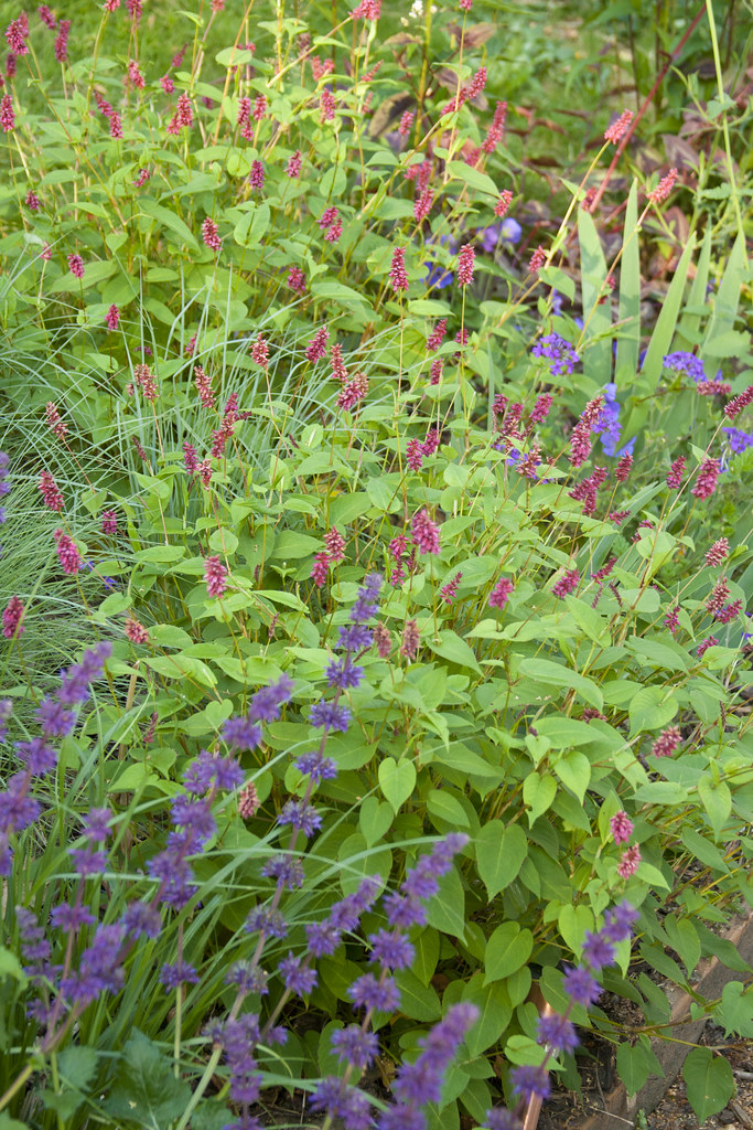 Persicaria Schizachyrium scoparium and Salvia