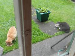 Ginga & Pushy eating in the garden