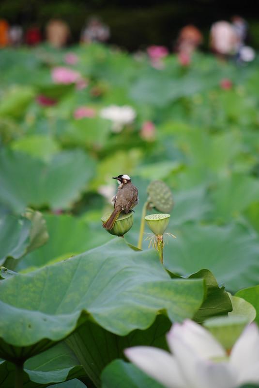 一大早的植物園荷花池