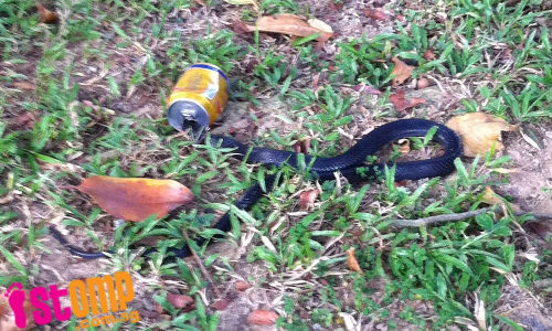 'Goondu' snake gets head stuck in drink can at Marsiling Drive