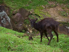 The Philippine Deer - growing in number inside the reserve (ryu_seco) Tags: vacation philippines deer mindanao davaocity edennaturepark lexmarkphotographyclub kodakz915