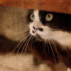 the world's most suspicious cat (ildikoneer) Tags: pet white black texture animal cat canon fur